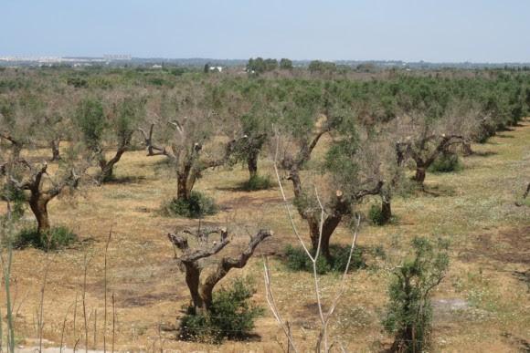 Campo de olivos afectado por Xylella (Fuente: http://ucanr.edu/blogs/blogcore/postdetail.cfm?postnum=17460)