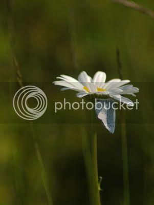 butterfly_on_daisy