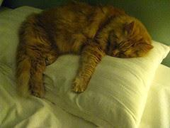 Jasper asleep on Jeni's pillow