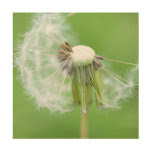 Dandelion Wish Made Wood Wall Art