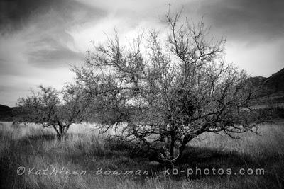 Shekinah Photography by Kathleen Bowman: Black & White  Desert Trees