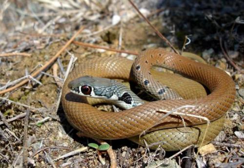 σαϊτα-το-πιο-γρήγορο-φίδι-της-Ελλάδας