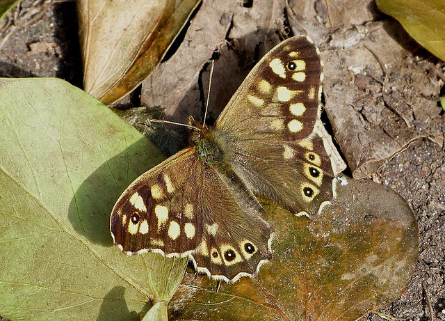 25830 - Speckled Wood, Lyme Regis
