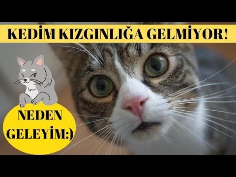 Dişi Kedim Kızgınlığa Girmiyor / Kedilerde Kızgınlık Dönemi