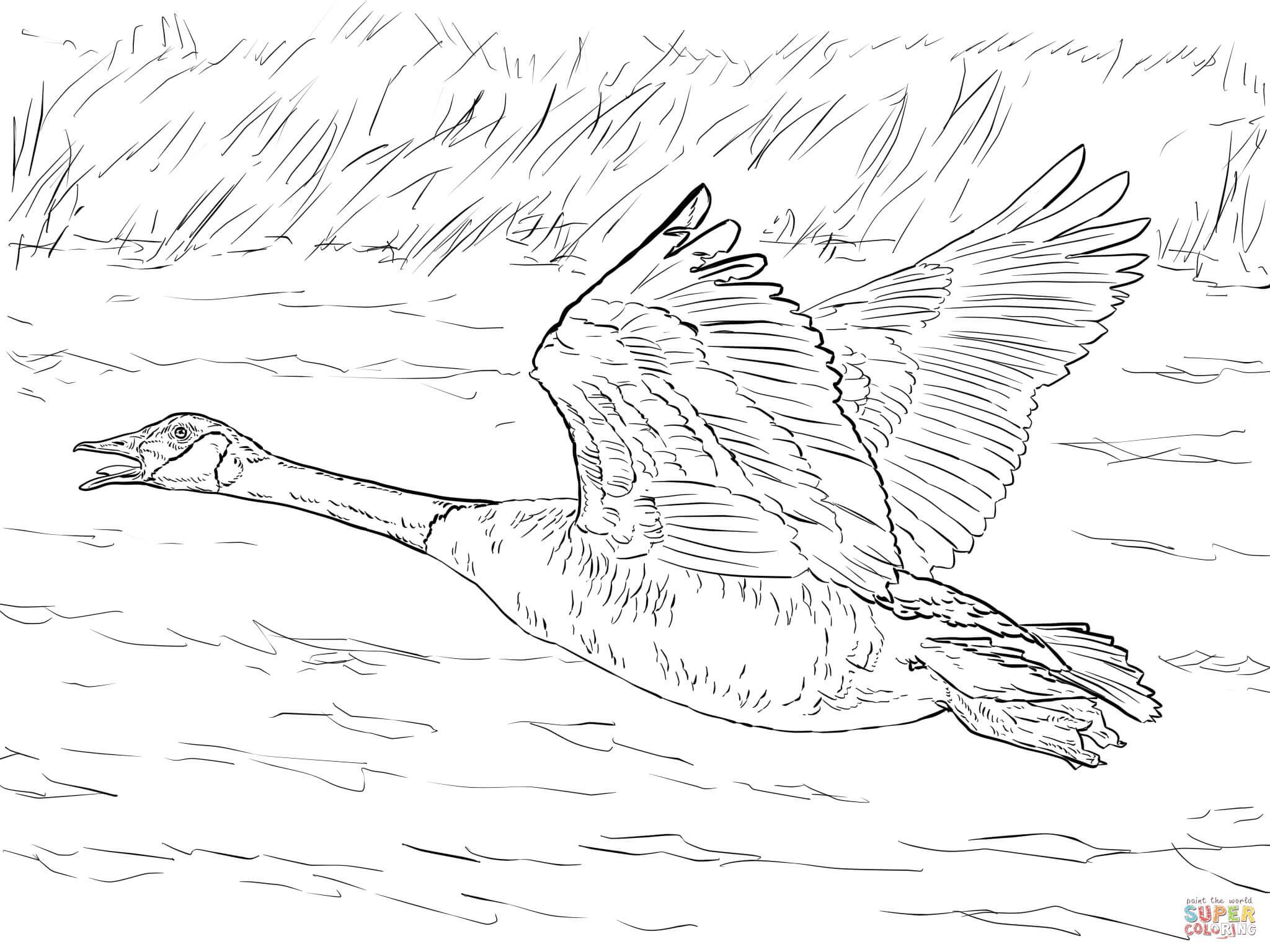 Bird migration coloring pages ~ 10 Coloriage De Faisan A Imprimer   Imprimer et Obtenir ...