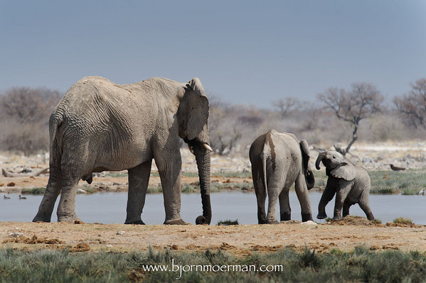 Drinking Elephant family at Etosha-Goas waterhole