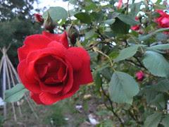 Climbing rose up close