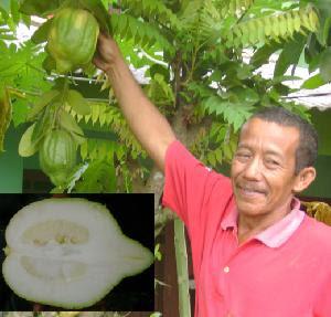 Pohon Jeruk Berbuah Pepaya di Palembang