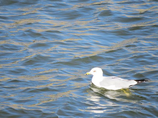 IMG_0169ps Gull