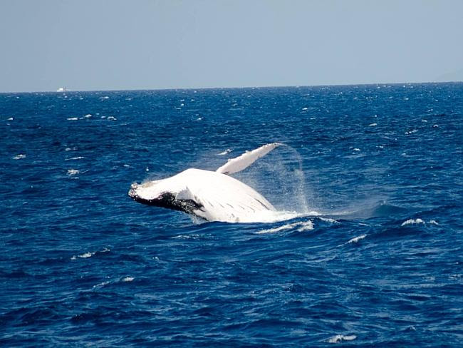 Humpback whales frolicking on the Great Barrier Reef off Cairns. Photo: Deep Sea Divers D