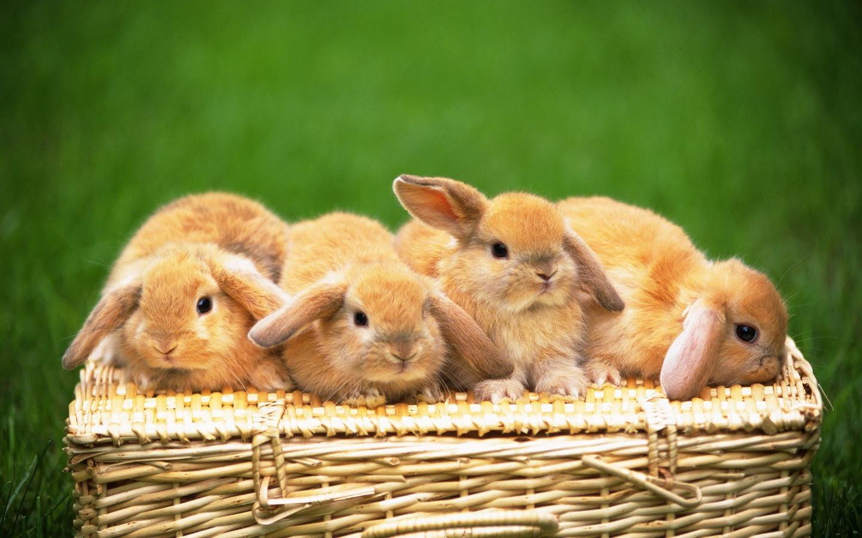 かわいいウサギの壁紙 32 1440x900 壁紙ダウンロード かわい