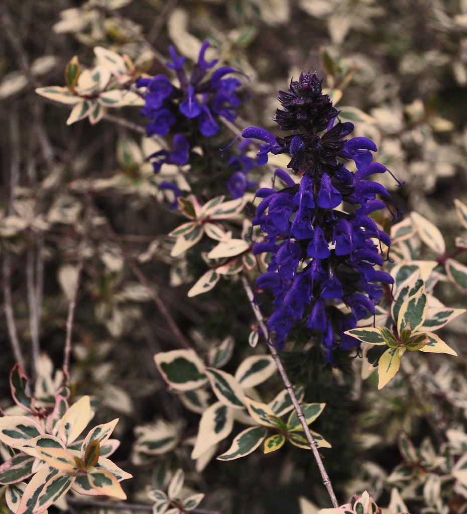 Salvia x 'May Night'