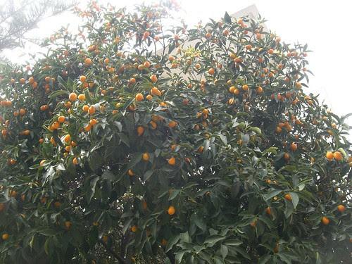 kumquat tree
