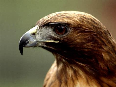 Birds wallpapers, eagle backgrounds, hawk desktops