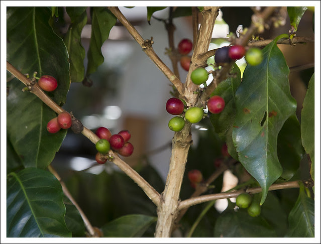 San Luis Coffee Farm 1