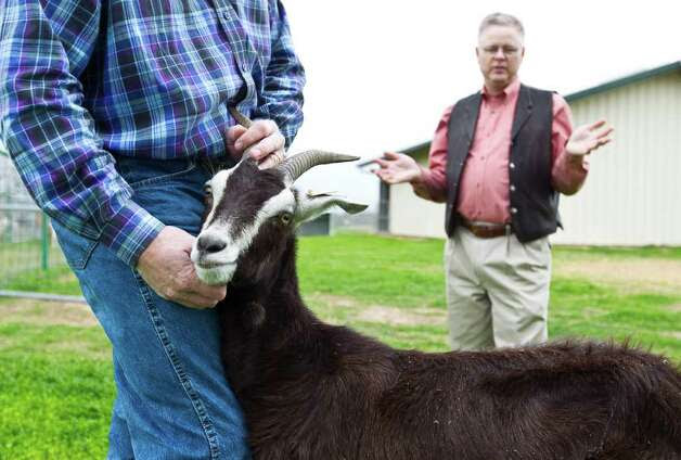 """A reluctant Goat No. 21 makes the best of her photo session as professor Mark Westhusin, right, describes research going on at Texas A&M into """"pharm animals"""" modified to carry vaccines. Photo: Karen Warren / © 2012  Houston Chronicle"""