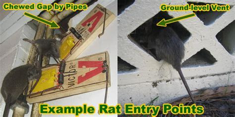 Rats Inside a Building   How to Get Rid of Rats in a Restuarant, Warehouse, Factory