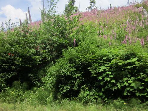Foxglove growing in a clearcut