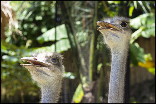 Ostriches Bird Park