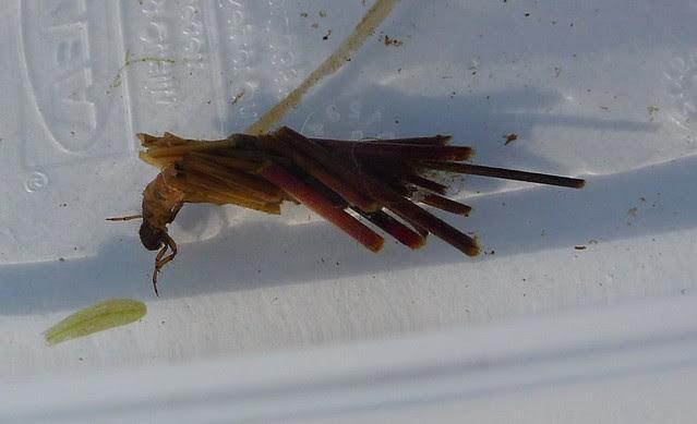 24683 - Caddisfly Larva, Isle of Mull