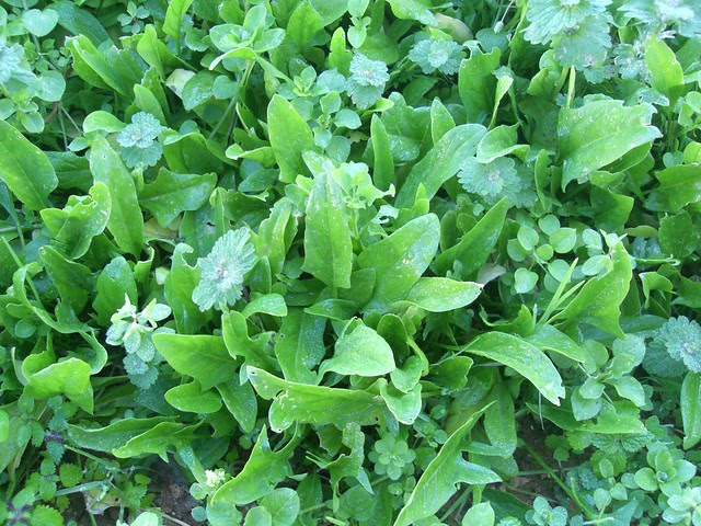 spinach and weeds