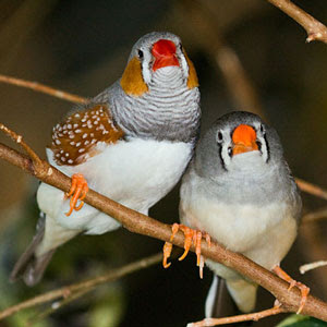 Zebra finches can form strong same-sex relationships (Photo: Keith Gerstung)