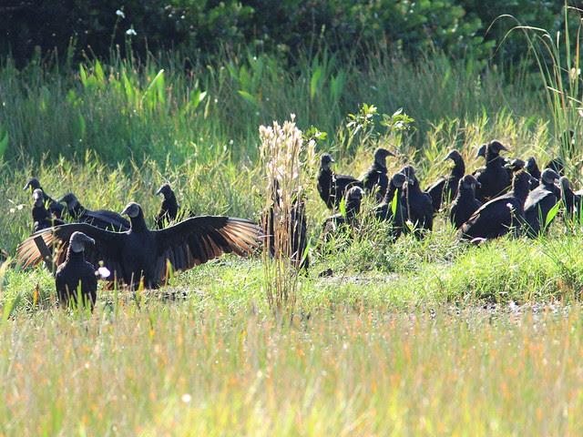 Black Vulture Gathering 20131015