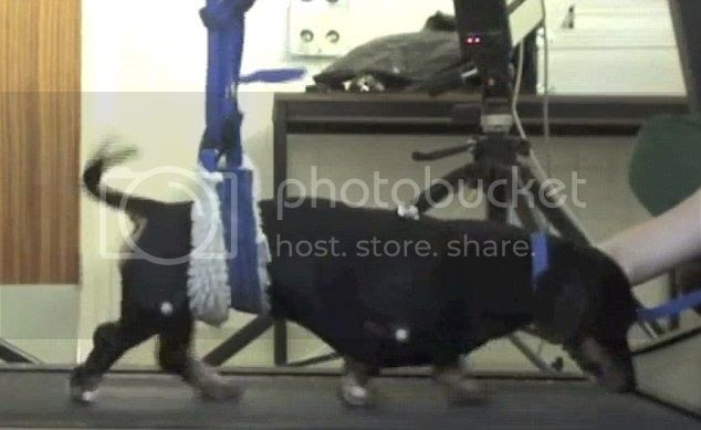 Perro paralítico vuelve a caminar