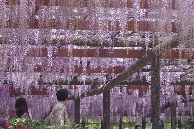 wisteria trellis #6
