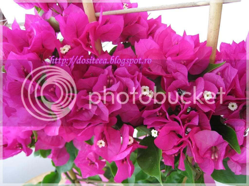 Floarea de hârtie-Bougainvillea