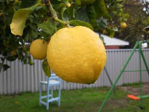 Lemon1 by umiyumi