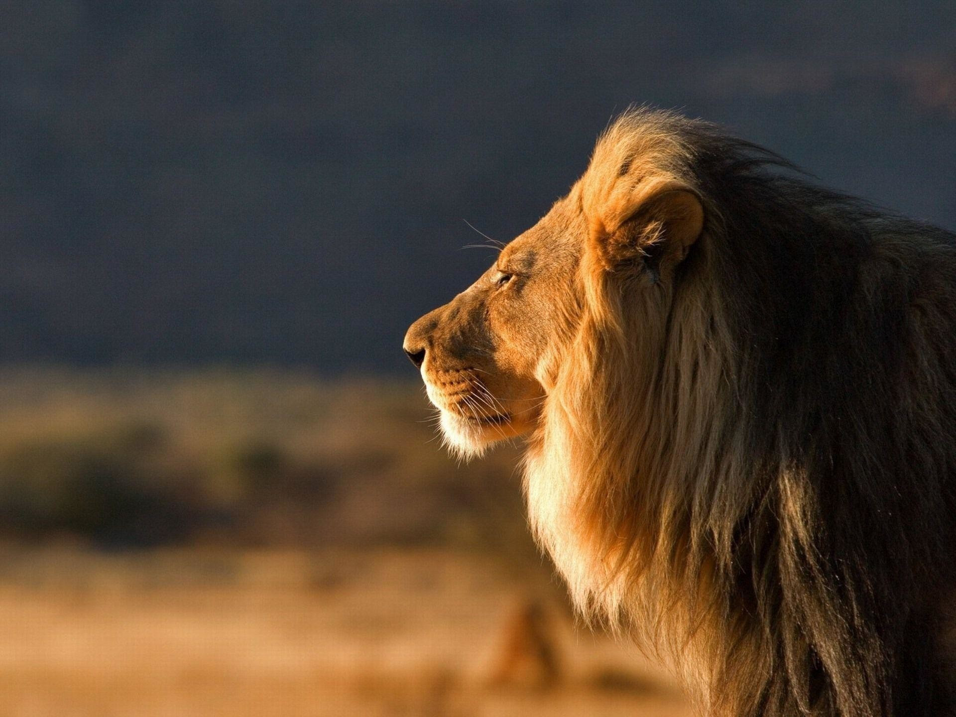 Wallpapers Lion Pictures 81 Images Images, Photos, Reviews