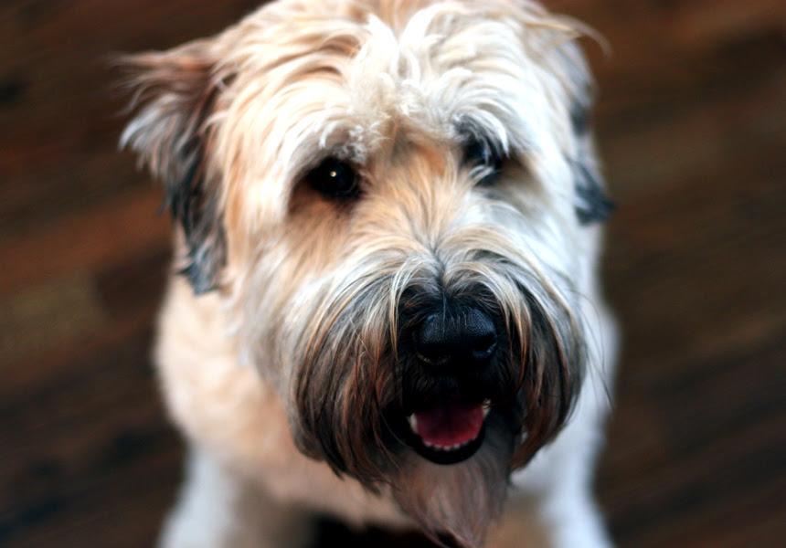 Sampson the Wheaton Terrier