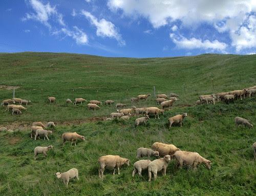 Sheep at Los Vaqueros