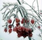 мои фотоработы, калина зимой