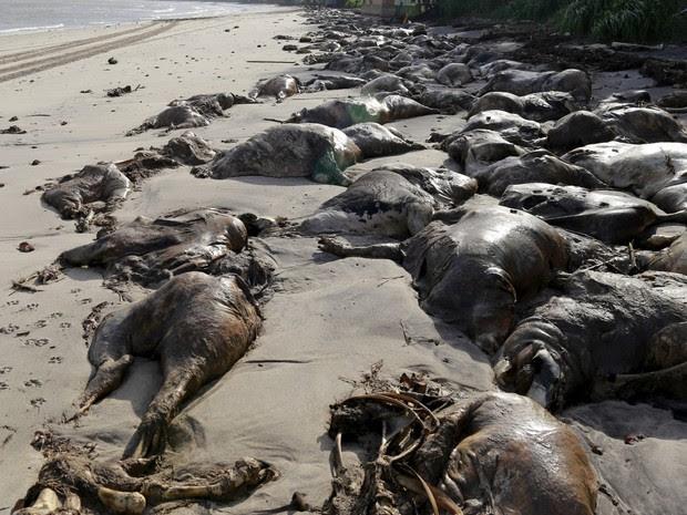 Um homem caminha ao lado de carcaças de bois na praia do Conde em Barcarena, no Pará. Na última terça-feira (6), uma transportadora de gado carregado com cerca de 5 mil animais naufragou no porto da Vila do Conde, em Barcarena (Foto:  Tarso Sarraf/Reuters)
