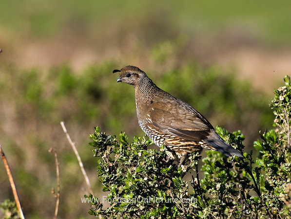 California Quail (Female)