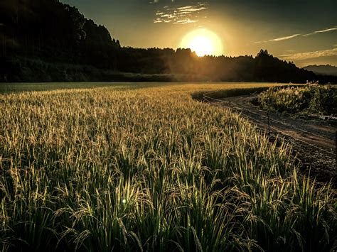 images rice field sunset sun sky atmosphere