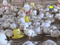 Cara Budidaya Ayam Pedaging Organik dan Testimoni Dari Bapak Agus Sulistiyarso di Dlimas, Banyuputih, Batang, Jawa Tengah.