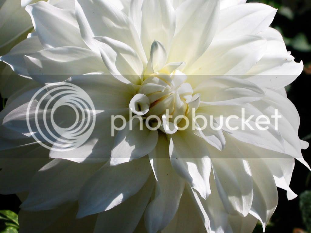 dahliawhite.jpg Dahlia white image by redwood81