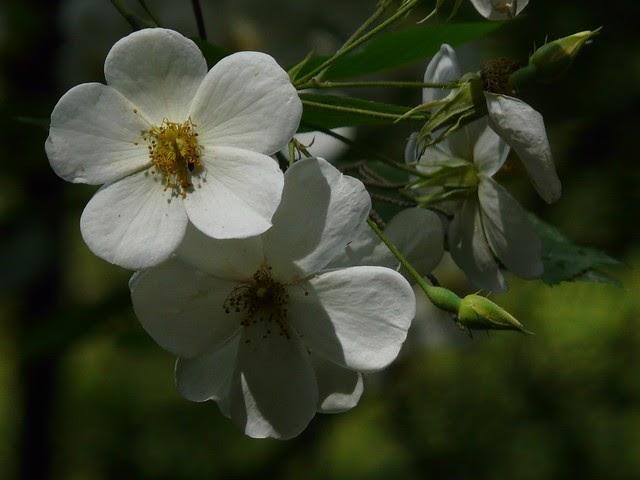 Rosa brunonii Himalayan Musk  Rose 10 seeds