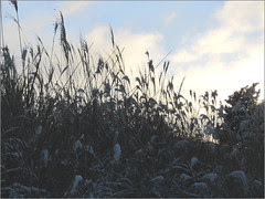 04 frost in sunrise reeds