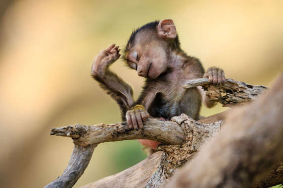 Baby baboon in Tarangire National Park, Tanzania - Aug 2015
