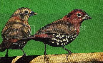 Pg16-2, RED - THROATED TWIN- SPOT (Peter's