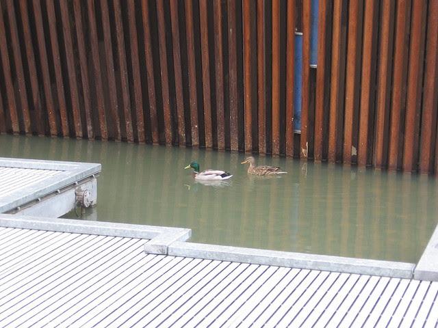 Ducks, Tanner Springs