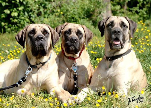 American Mastiff Calm Dogs