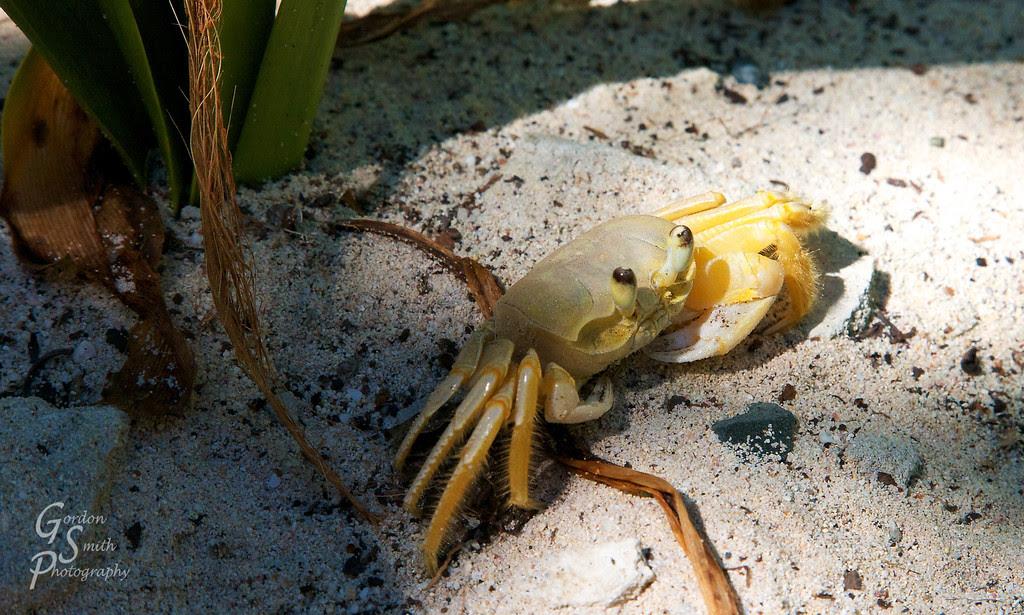 british virgin islands sandy cay crab