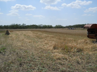 Completed Row of Harvesting the 2012 Wheat Crop with a Combine