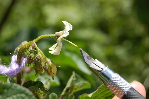 Potato hand-pollination 8