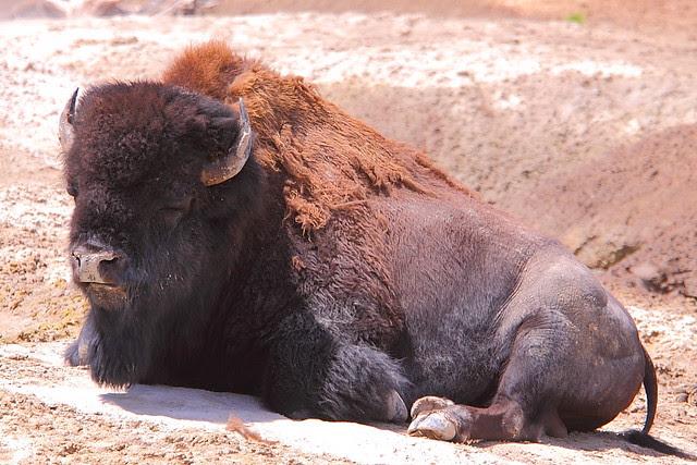 IMG_8692 Bison, Yellowstone National Park